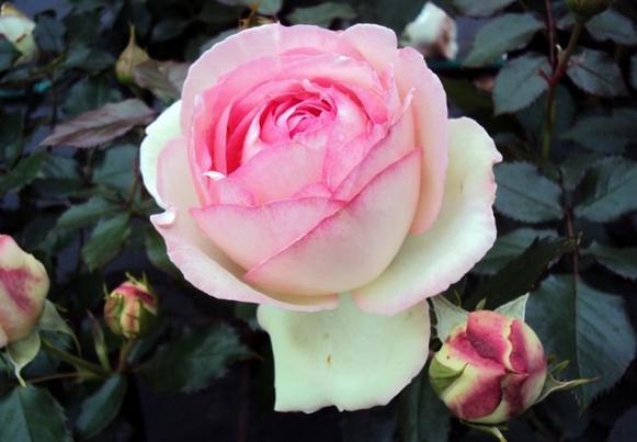 微型伊甸玫瑰 /MINI EDEN ROSE月季花品种介绍及图片