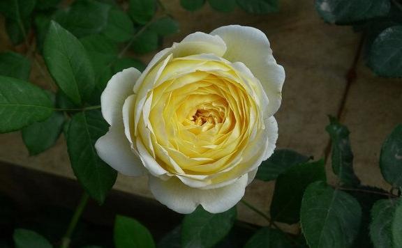 圣阿尔班/St. Alban月季花品种介绍及图片