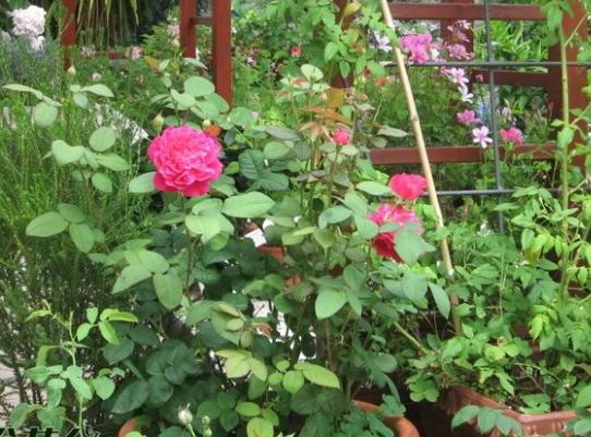 苏菲的玫瑰/Sophy's Rose 月季花品种介绍及图片