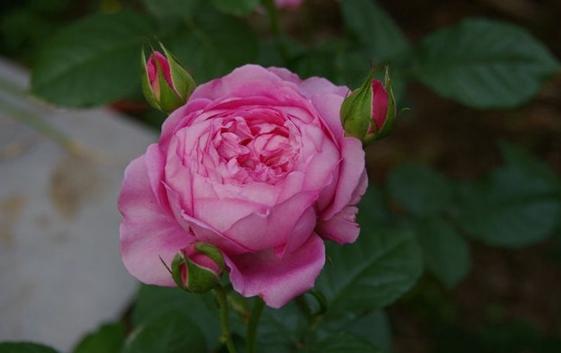 尚塔尔/Chantal Mérieux月季花品种介绍及图片