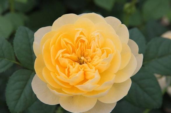 圣女贞德/Jeanne d'Arc月季花品种介绍及图片