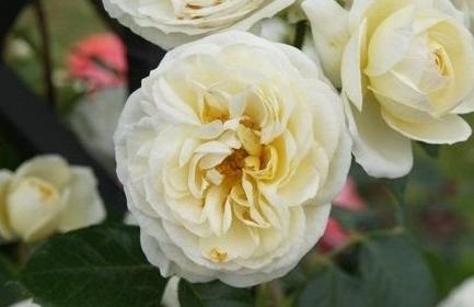 克拉伦斯宫/Clarence House月季花品种介绍及图片