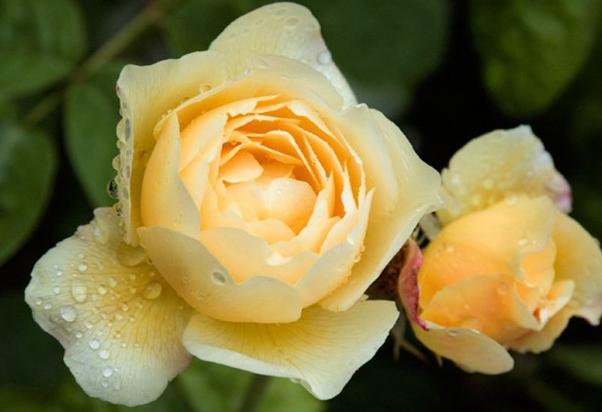 乔伊斯巴登/joyce barden月季花品种介绍及图片