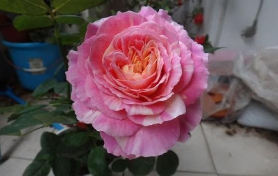 克劳德•莫奈/Claude Monet月季花品种介绍及图片