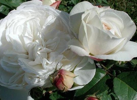 白菲儿/Fair Bianca月季花品种介绍及图片