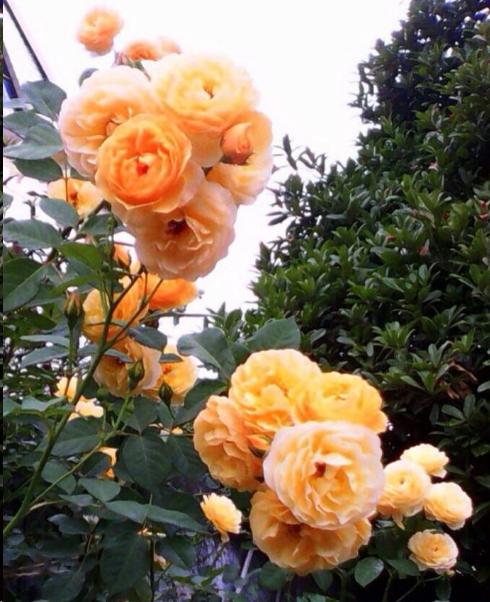 月季花的花苞越来越小,一招扭转乾坤