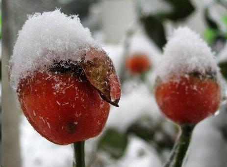 月季花也可以用种子繁殖?实用的方法
