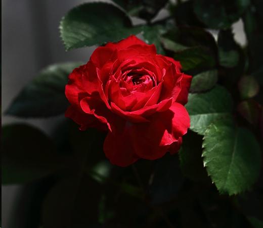 花期超长的正红色阳台月季,比金丝雀耐开,比果汁阳台好看!