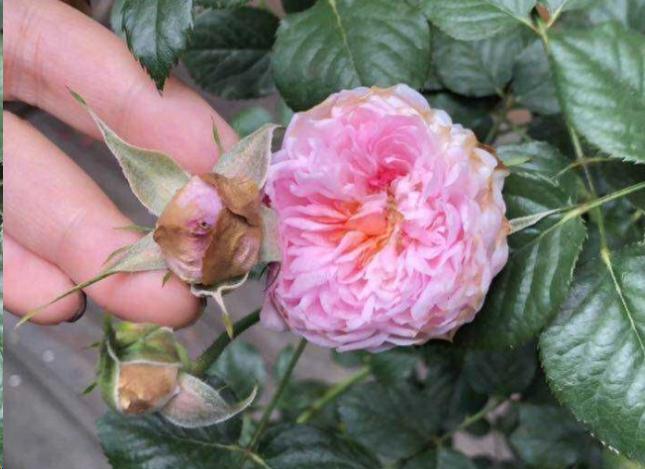 月季花苞枯萎是什么原因?这样救,花蹭蹭开爆盆!