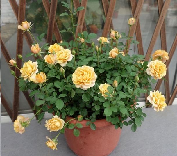 入夏前给月季换个大房子,新芽蹭蹭长,花开不断!