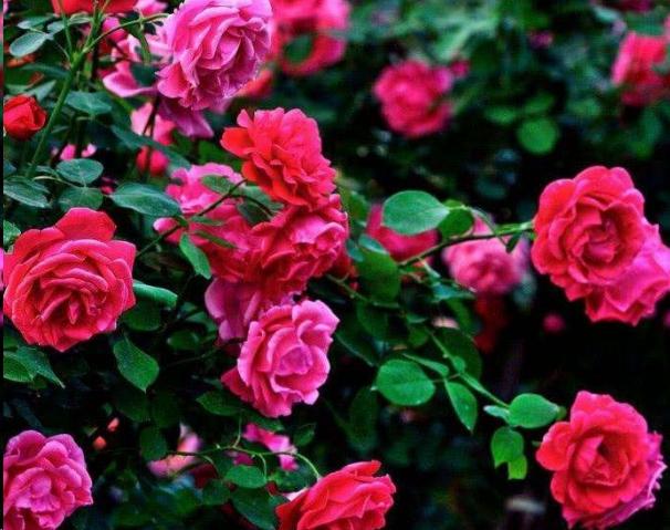月季玫瑰和蔷薇,认准这一点再也不拍买错!