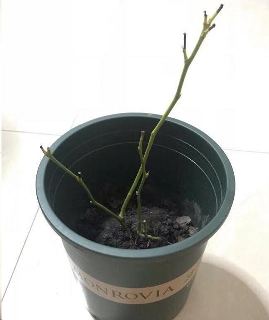 月季苗换盆后,半个月不长反落叶,问题出在这!