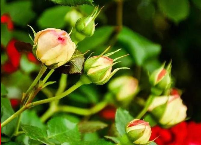 月季花未开花苞图片