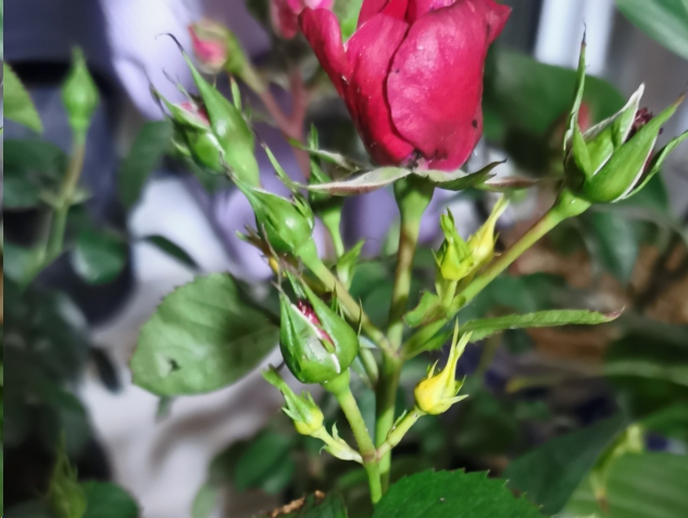 月季花花苞图片