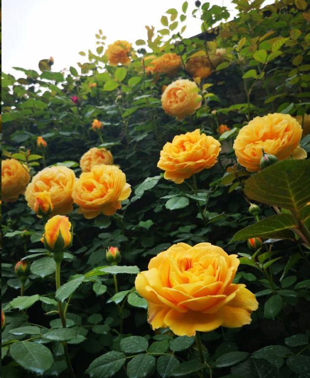 阳台上盆栽藤本月季如何牵引