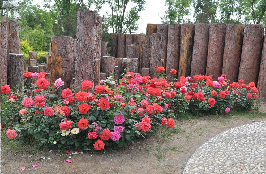 地栽月季花的养殖方法和注意事项